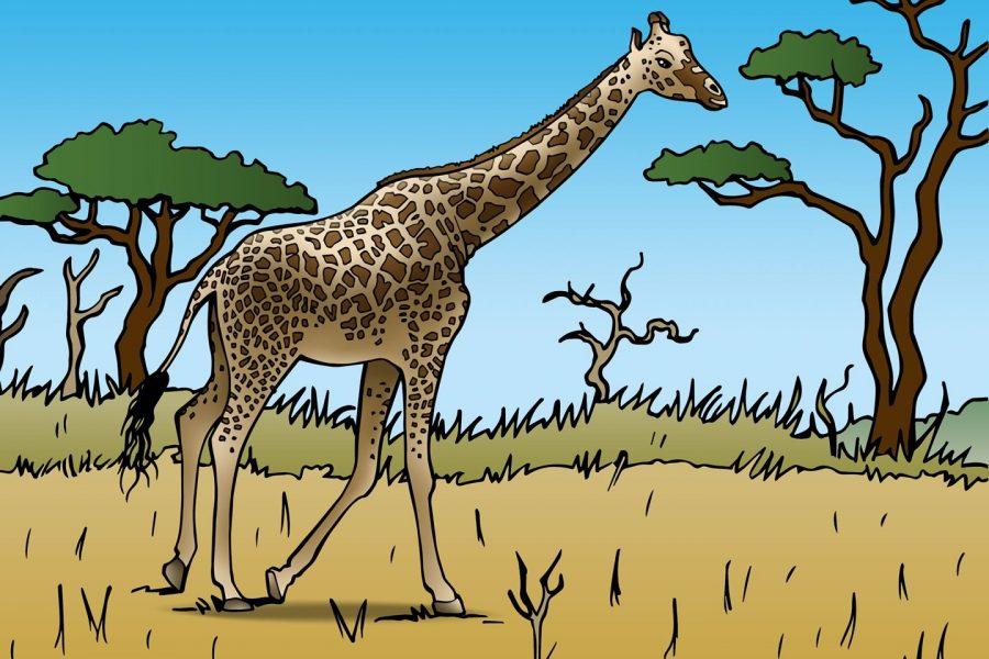 Giraffen gered van eiland